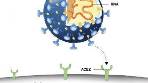 Coronavirusul ataca o celula umana